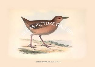 RALLUS CONCOLOR - Uniform Crake